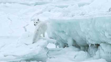 8 espèces du Grand Nord menacées par le changement climatique