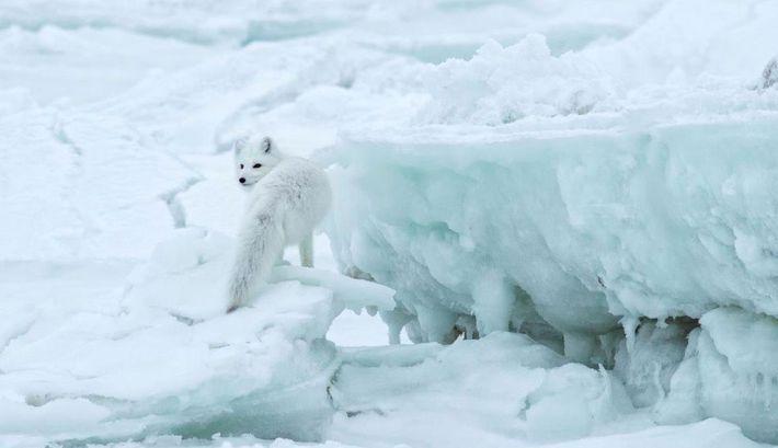 Un renard arctique (Vulpes lagopus) fait une pause sur la glace, à la recherche de nourriture ...