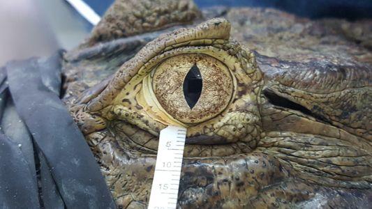 """Les """"larmes de crocodiles"""" seraient étonnamment similaires aux nôtres"""