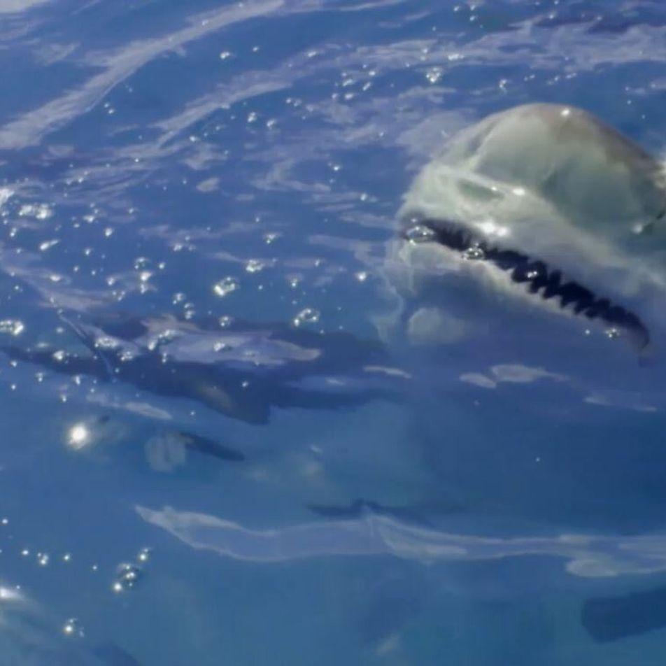 Le requin-bouledogue, chasseur de requins