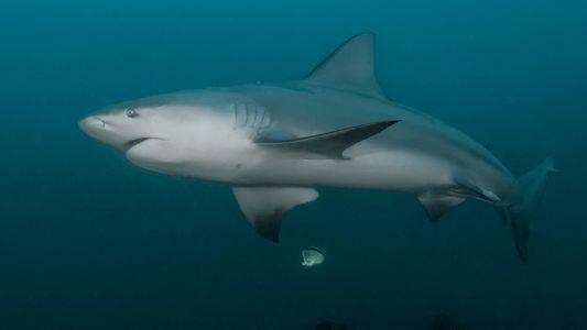 La nature agressive du requin-bouledogue