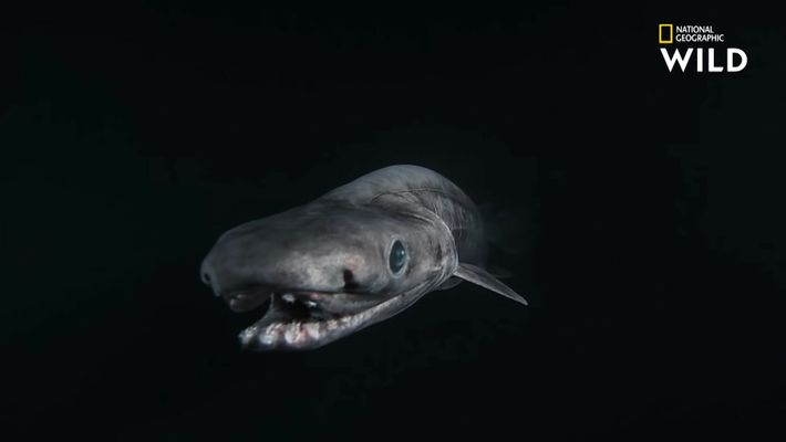 Le requin frangé, tout droit sorti de vos pires cauchemars