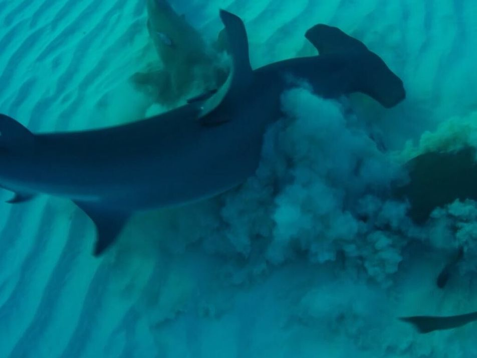 Un requin-marteau attaque une raie