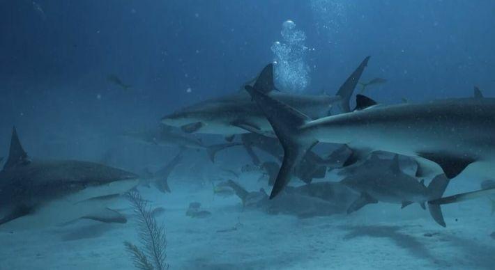 Pourquoi le triangle des Bermudes attire-t-il tant les requins tigres ?