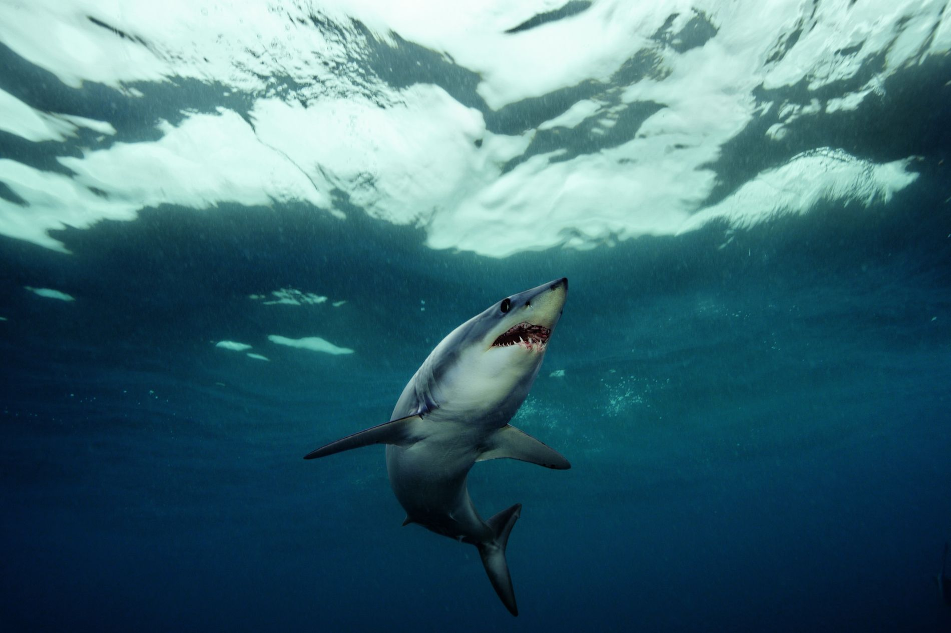 """""""Des torpilles avec des dents"""" : c'est ainsi que le photographe Brian Skerry décrit les requins-taupes ..."""