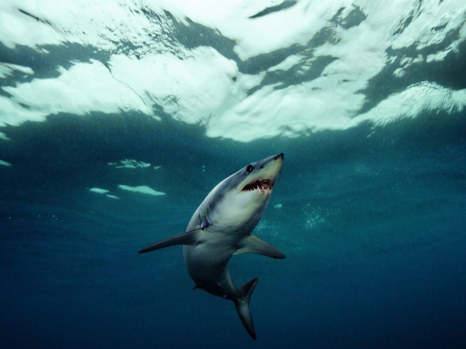 Les secrets du requin-taupe bleu le plus rapide du monde