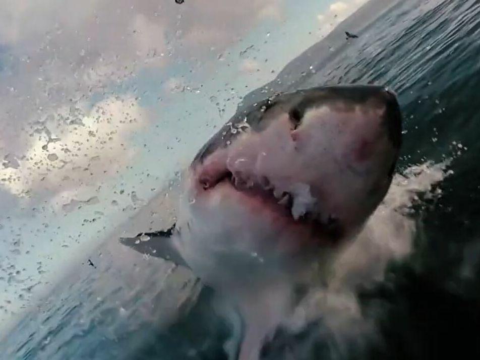 L'étonnante faculté du grand requin-blanc