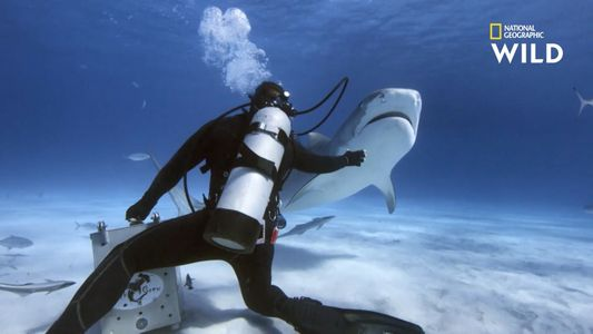 Images impressionnantes d'un plongeur face à des requins-tigres