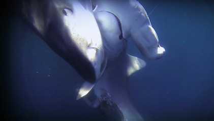 Requin-tigre VS requin-marteau