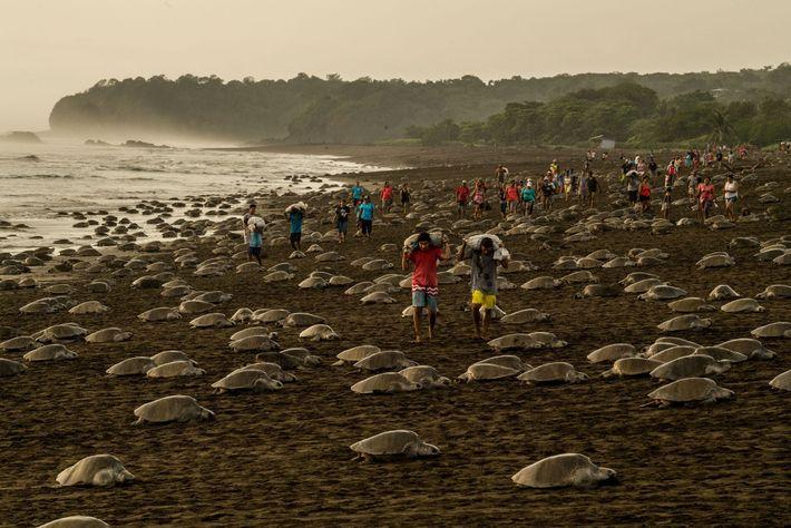 À Ostional, au Costa Rica, les tortues olivâtres nichent si près les unes des autres qu'elles ...