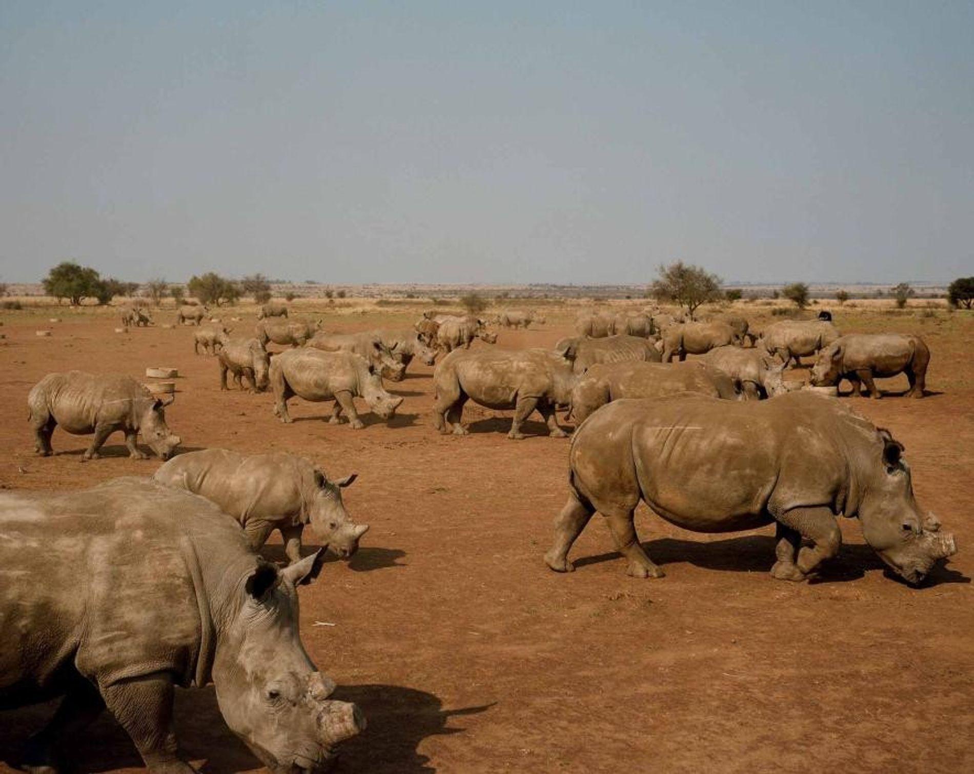 Sur les terres de l'éleveur John Hume, à Klerksdorp, en Afrique du Sud, des rhinocéros broutent. ...