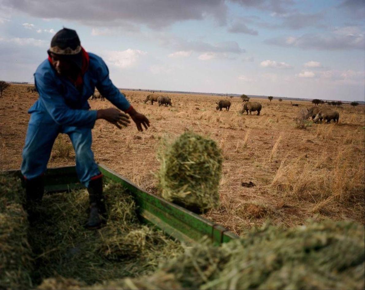 Un employé lance des luzernes aux rhinocéros blancs du ranch de John Hume. L'Afrique du Sud ...