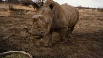 En Afrique du Sud, chez le plus important éleveur de rhinocéros