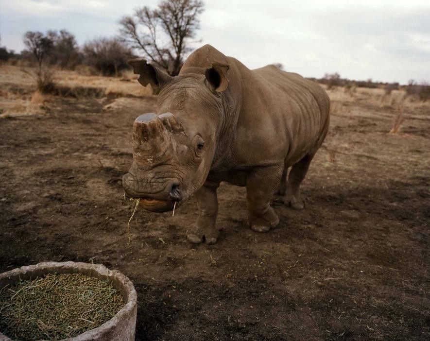 Un rhinocéros écorné est en train de paître sur les terres de John Hume. L'éleveur emploie ...