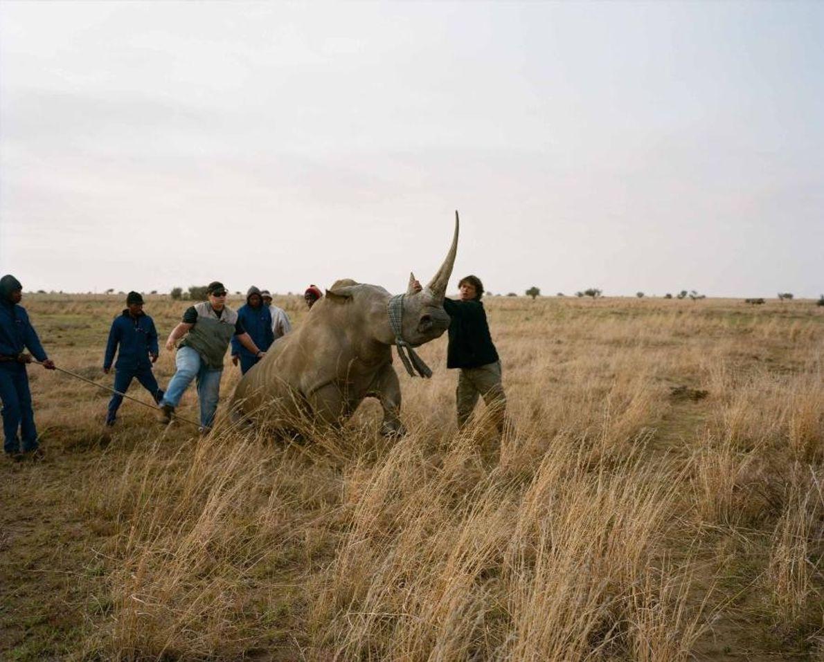 Un rhinocéros blanc, à qui un calmant léger a été administré, a les yeux bandés et ...