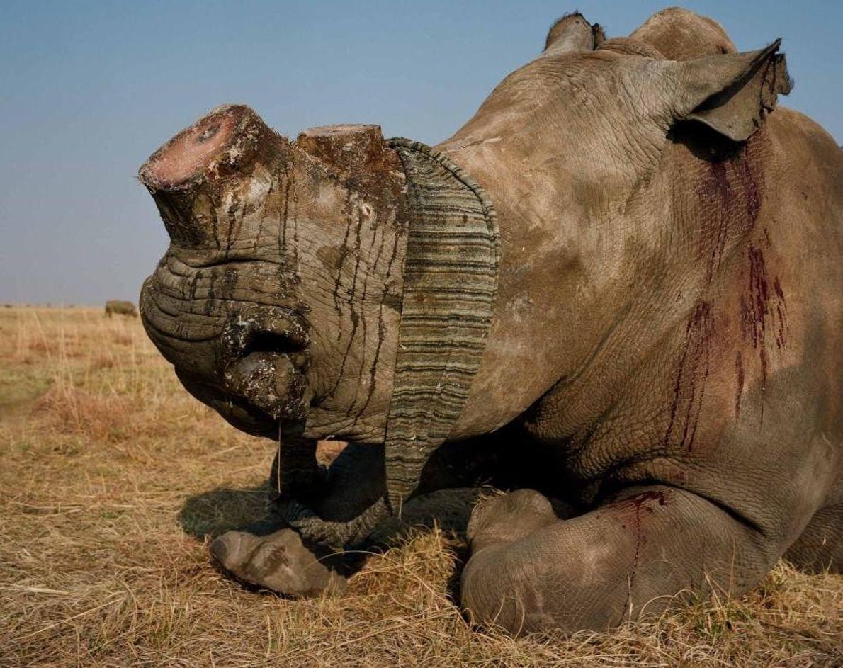 Ce rhinocéros blanc aux yeux bandés vient juste d'être écorné. Au-delà de l'écornage des animaux afin ...