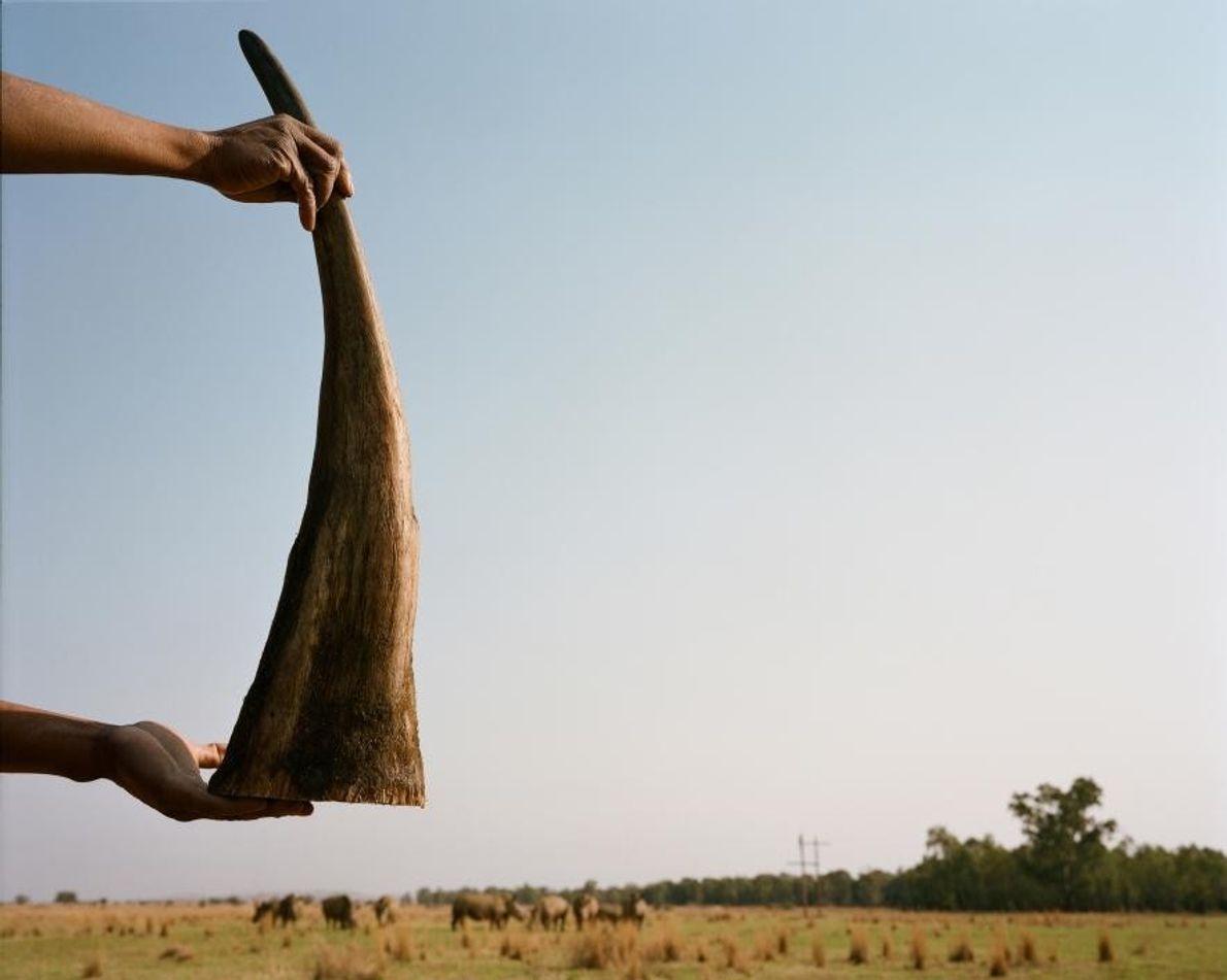 Un responsable de la ferme tient dans ses mains une corne fraîchement retirée. Elle sera stockée ...