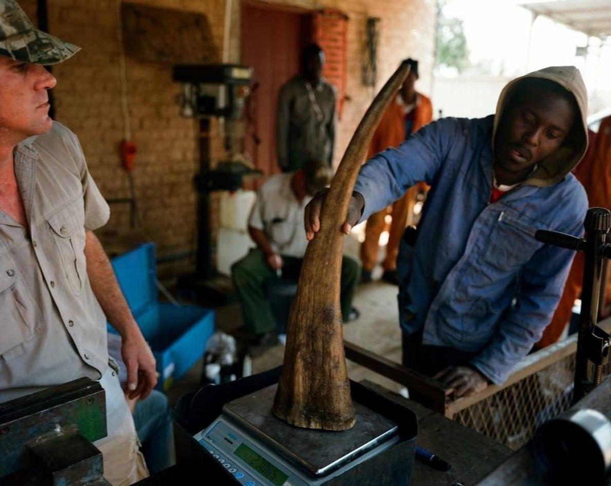 Une corne de rhinocéros est pesée avant d'être stockée.