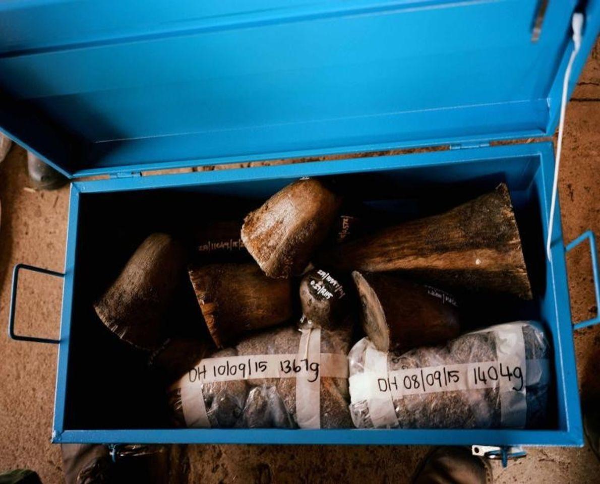 Les cornes et copeaux de rhinocéros sont stockés dans un coffre-fort. Le commerce illégal de cornes ...