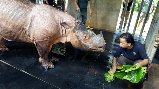 Les réseaux sociaux viennent à la rescousse des derniers rhinocéros de Sumatra