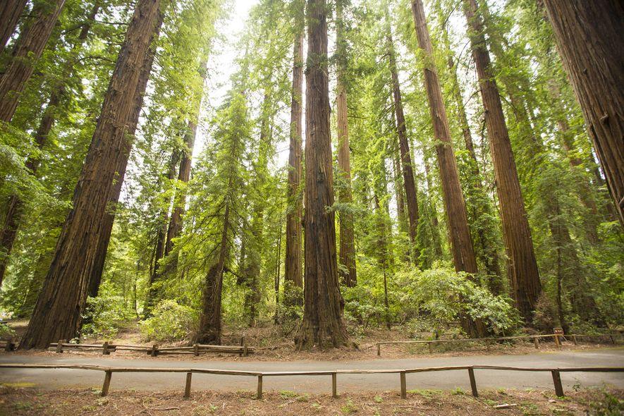 Richardson Grove State Park est l'un des parcs de séquoias de Californie, établi en 1922. Le ...