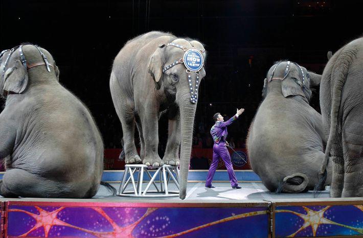 Les éléphants retraités du cirque Ringling Bros. and Barnum & Bailey, ici photographiés lors de leur dernier spectacle en 2016, seront transférés ...