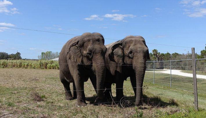 Un duo d'éléphants à la retraite prend la pose en 2016 devant les 80 hectares du Centre ...