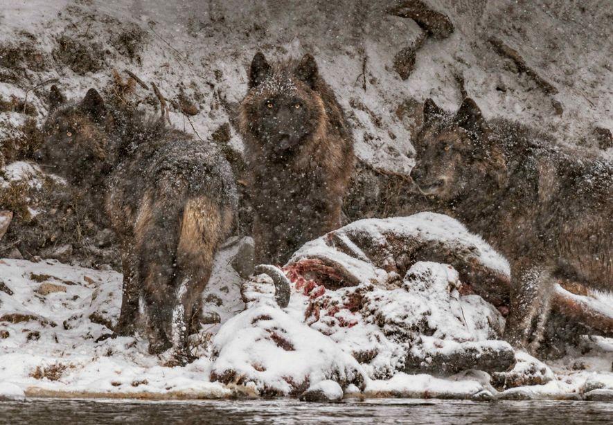 Le cadavre d'un bison qui s'est noyé dans la Yellowstone est un véritable festin pour cette ...