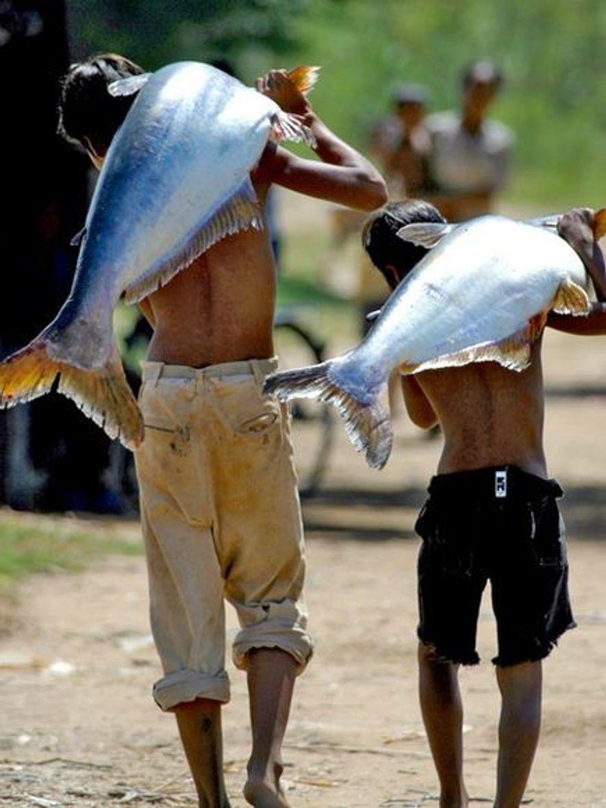 Deux jeunes garçons transportent sur leur dos des poissons-chats d'eau douce au Cambodge. Le poisson-chat, énorme ...