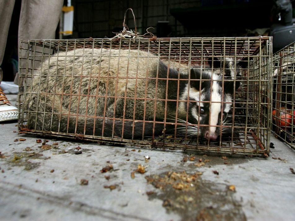 COVID-19 : les fermes d'animaux sauvages chinoises pourraient être le chaînon manquant dans la transmission du ...