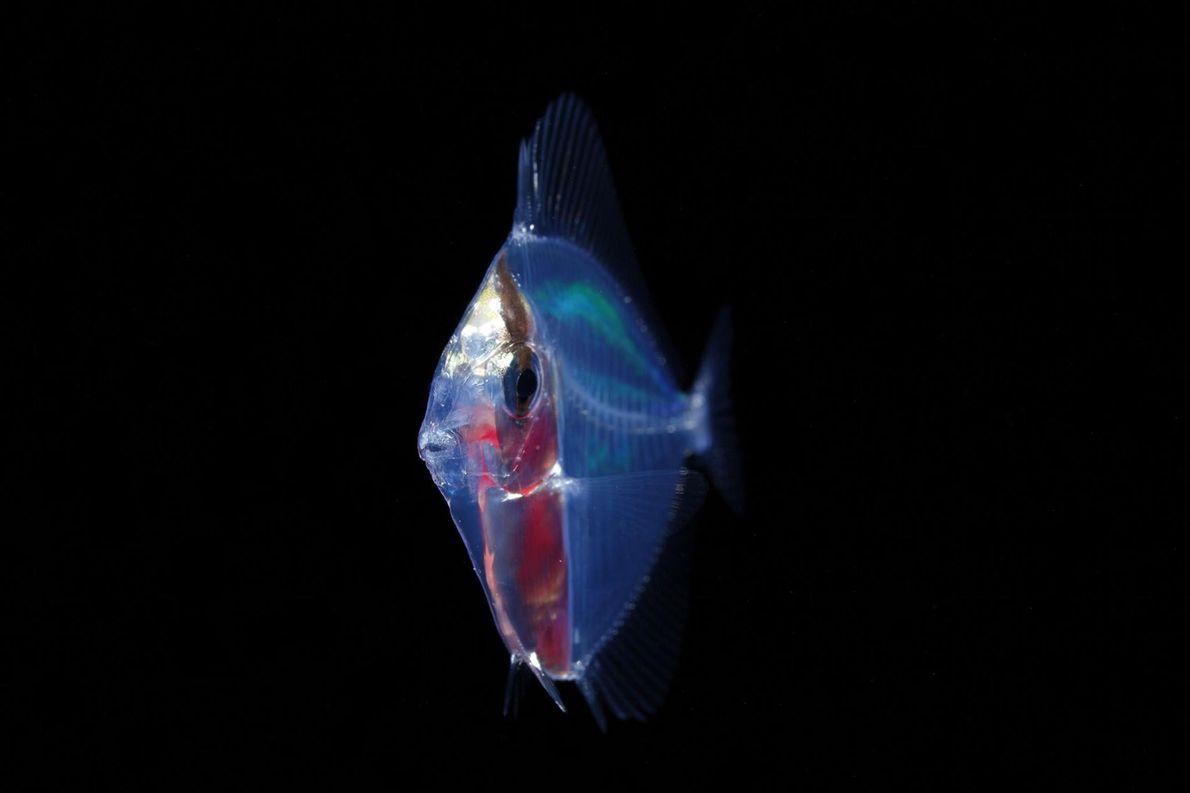 Un jeune poisson de la famille des Acanthuridae. « Dans des eaux dépourvues de toute cachette, ...