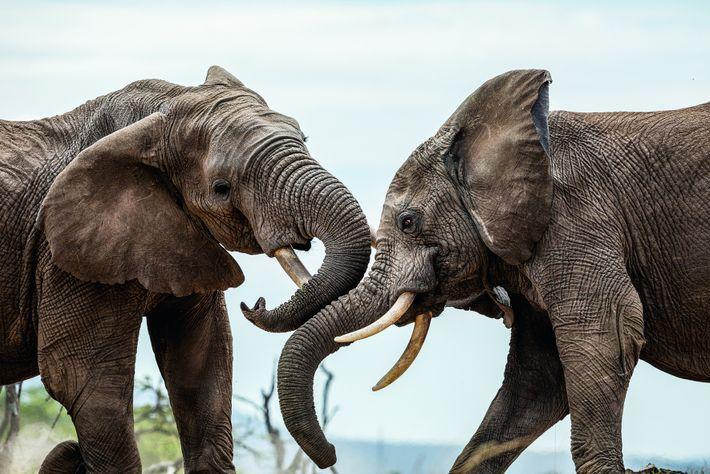 Au Kenya, des éléphants mâles de l'aire de conservation communautaire de Naboisho se chamaillent à coups ...