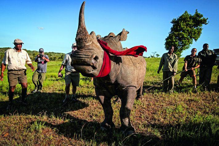 Un rhinocéros blanc d'Afrique du Sud, pays fortement touché par le braconnage, est déplacé au Botswana ...