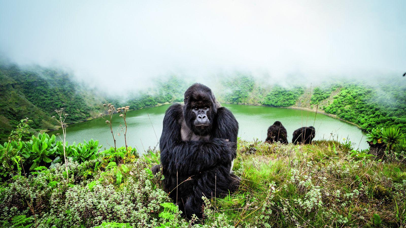 Le parc national des Volcans, au nord-ouest du Rwanda, est l'un des derniers refuges du gorille ...
