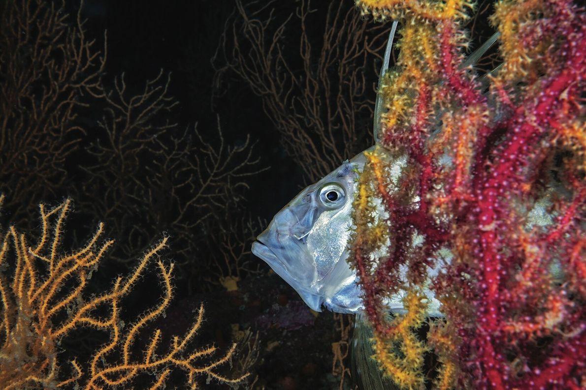 Le saint-pierre, autre habitant des fonds marins, se nourrit en gobant de petits poissons, des seiches ...