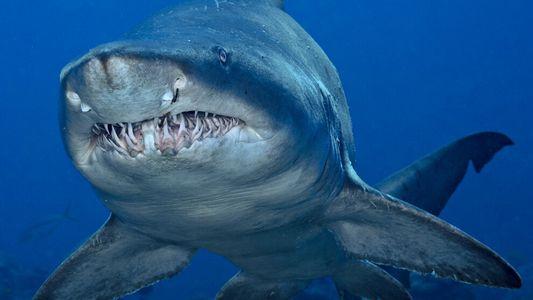 Pourquoi les requins ferment-ils les yeux quand ils attaquent leurs proies ?