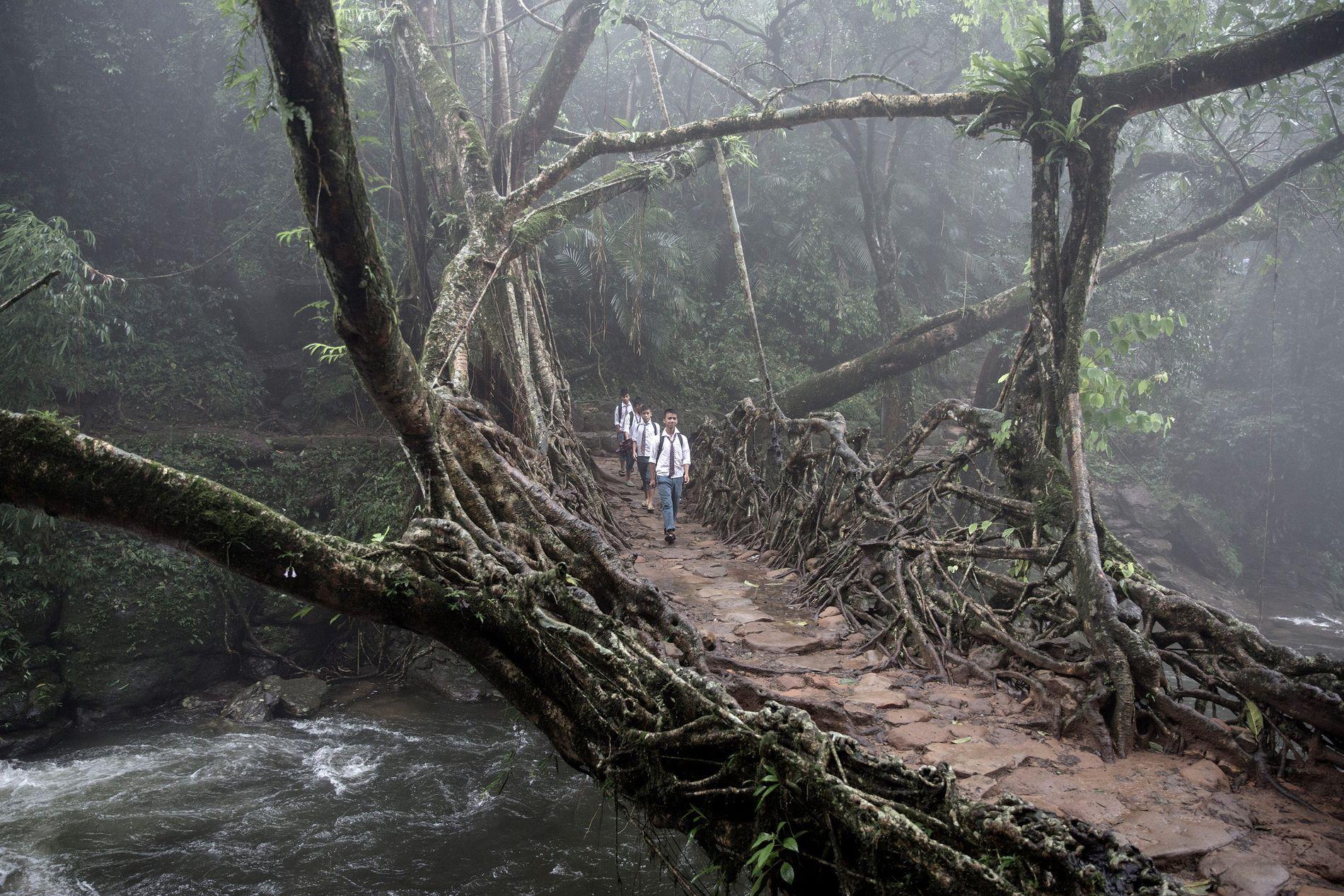 À Meghalaya, dans le East Khasi Hills, un groupe d'enfants traverse un pont racine vivant. Les ponts sont essentiels pour relier les villages dans un paysage vertical.