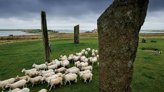 Dans le cœur néolithique des Orcades, les moutons pâturent aux côtés des pierres levées de Stenness ...