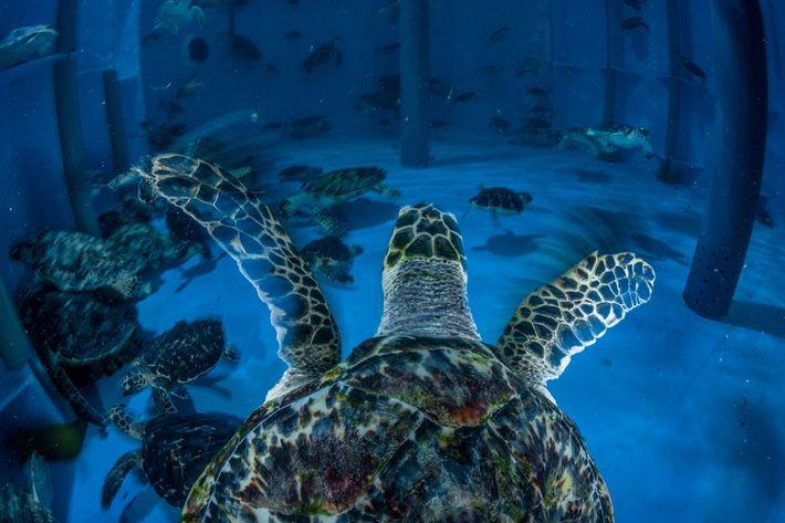 Dans un centre de réhabilitation de tortues marines de Dubaï, des tortues imbriquées et des tortues vertes ...