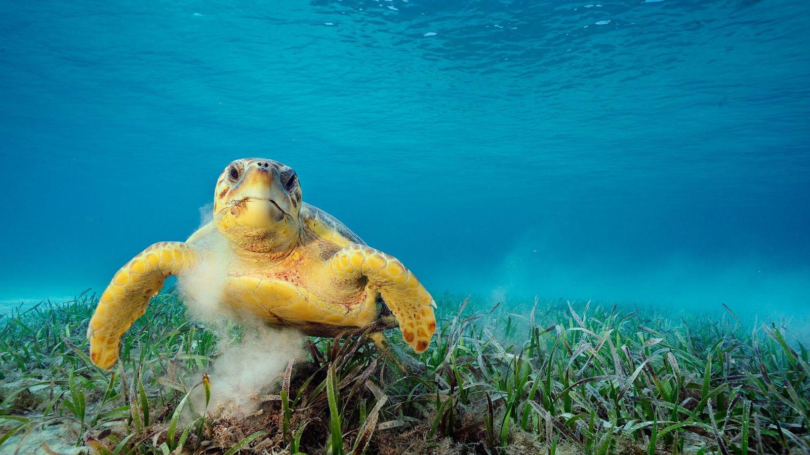 Une caouanne (Caretta caretta) se nourrit d'herbe. En explorant les fonds marins, cet animal peut emporter ...