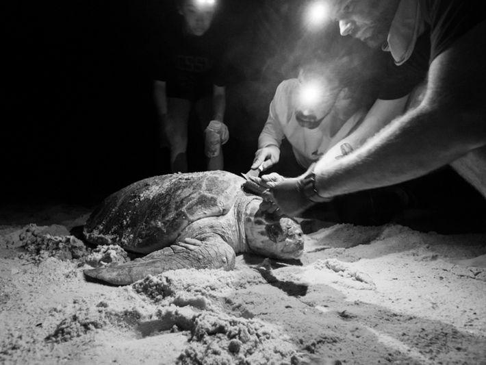 Les chercheurs retirent délicatement les petits animaux agrippés à la carapace de la tortue Caretta caretta. ...