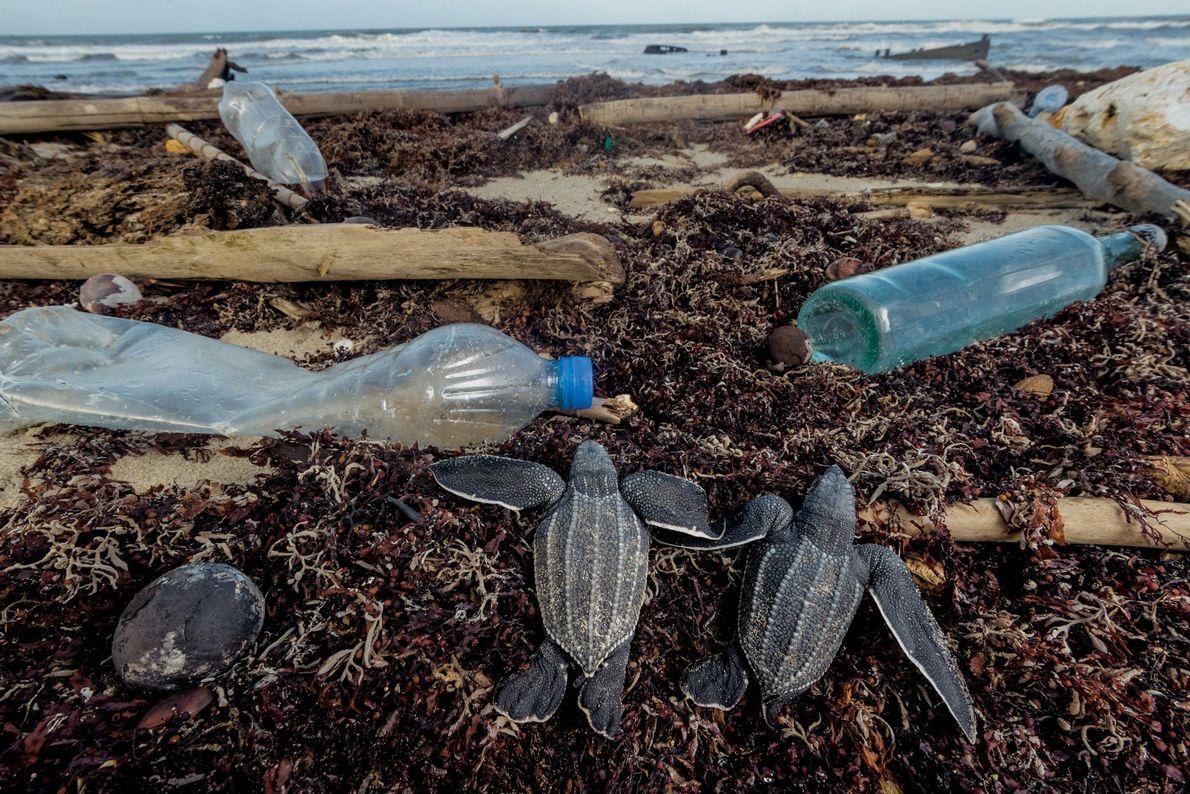 Sur la plage de Matura à Trinité-et-Tobago, en plus des prédateurs, les jeunes tortues doivent faire ...