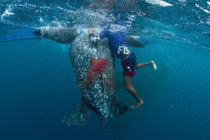 Du sang s'écoule d'une tortue luth mourante qui vient d'être harponnée dans les eaux des îles …