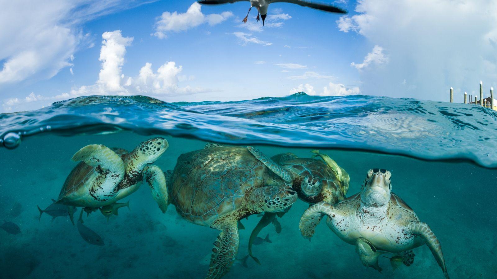 Des tortues vertes se rassemblent près d'un quai dans le cadre d'un projet d'écotourisme naissant aux ...