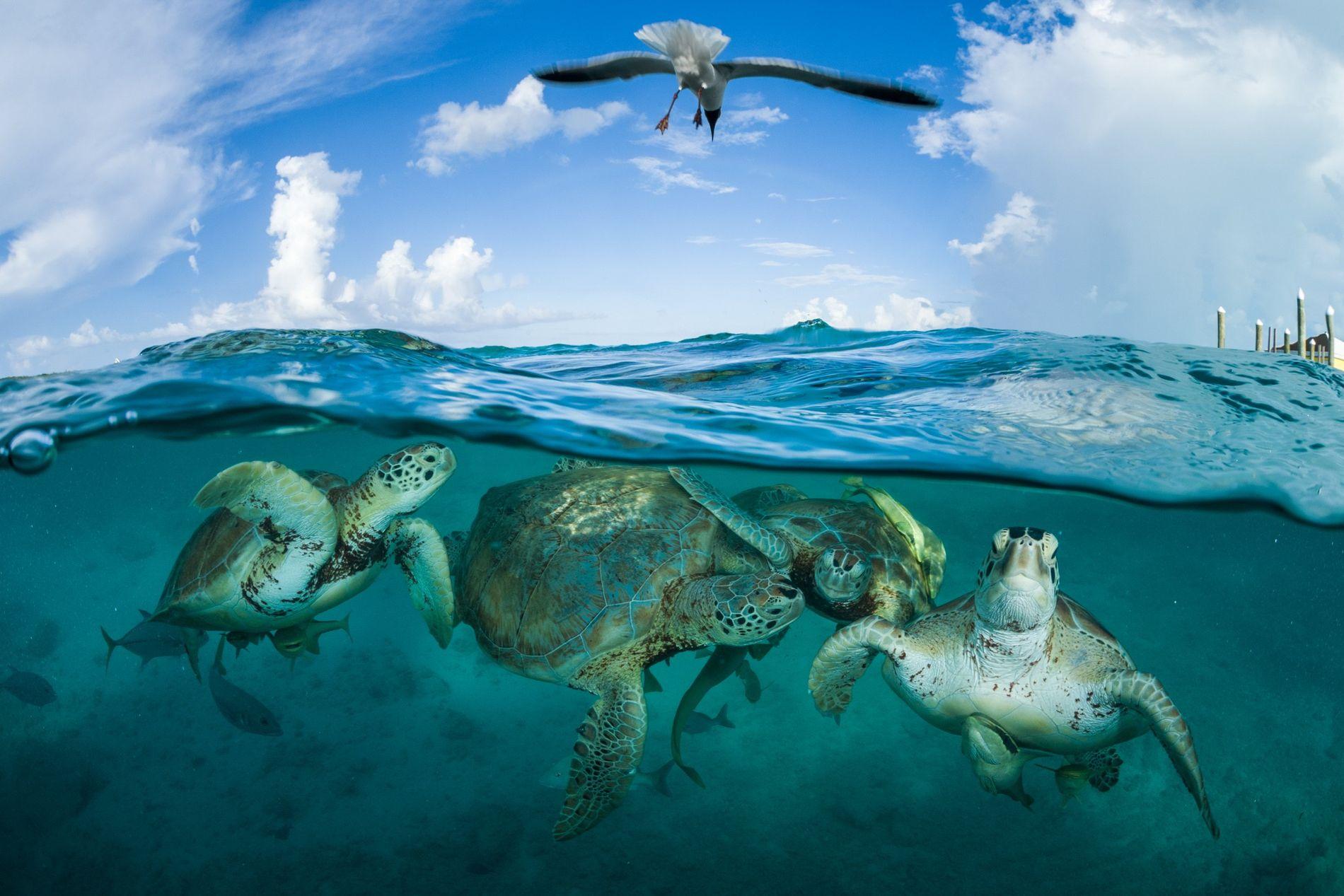 Des tortues vertes se rassemblent près d'un quai dans le cadre d'un projet d'écotourisme naissant aux Bahamas. Les tortues vertes étaient si nombreuses dans les Caraïbes quand Christophe Colomb y a débarqué qu'« il semblait que les navires s'échouaient », selon les récits de son deuxième voyage en 1494. Aujourd'hui, l'Union internationale pour la conservation de la nature (UICN) considère cette espèce comme étant menacée d'extinction.