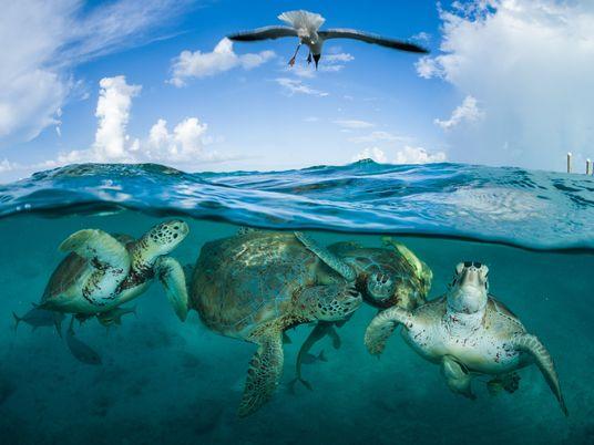 Malgré les menaces croissantes, certaines tortues marines parviennent à s'adapter
