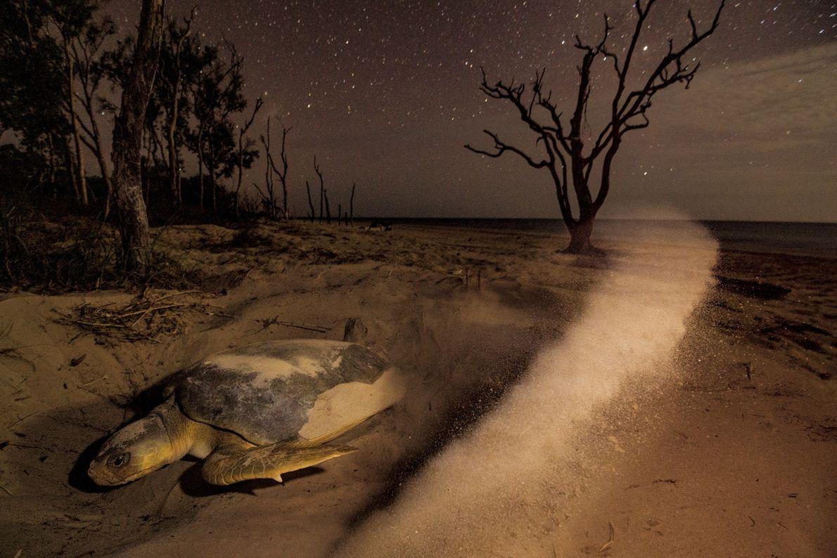 Sur l'île de Crab, les tortues marines à dos plat au large de la péninsule du ...