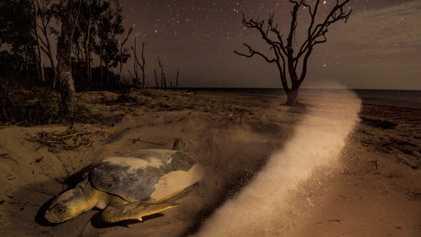 La dangereuse vie des tortues de mer en images