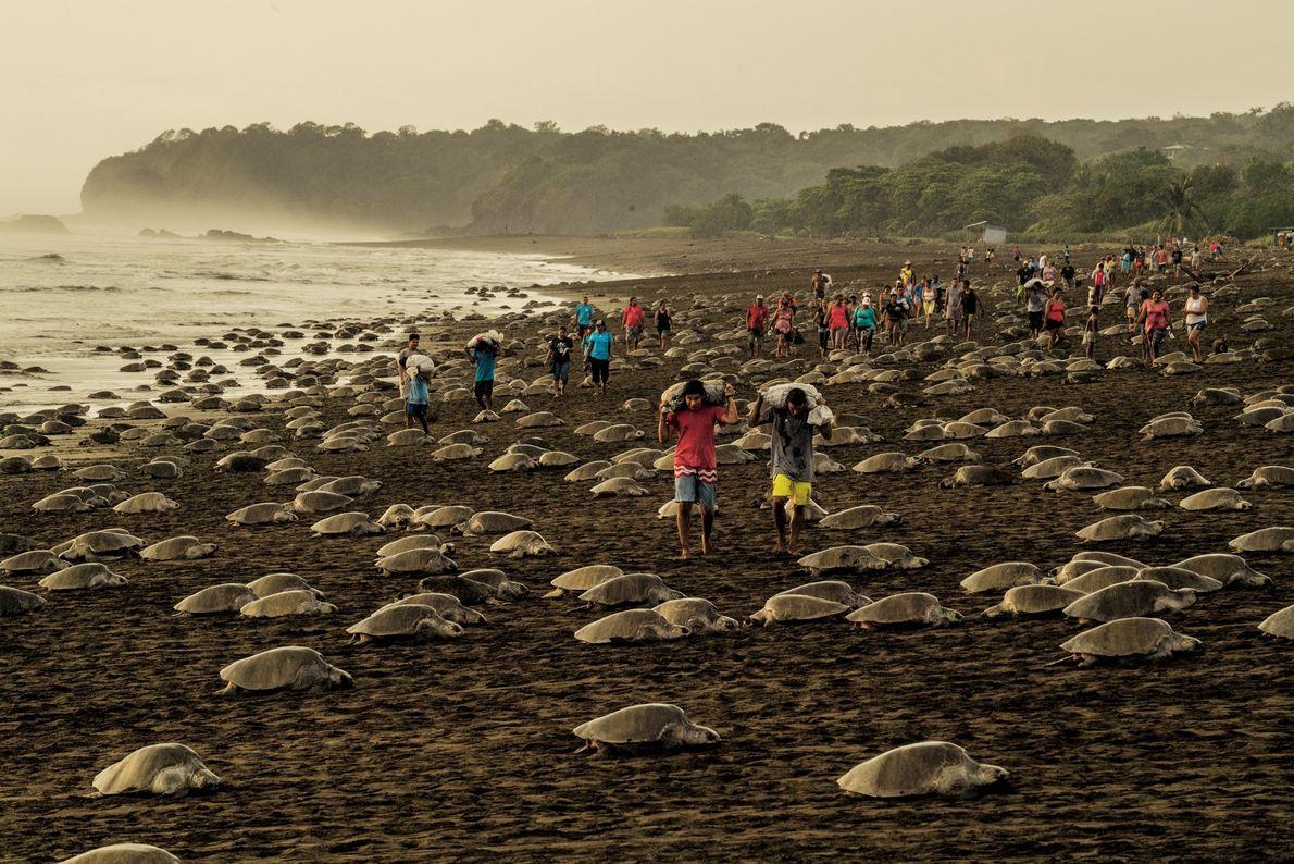 À Ostional, au Costa Rica, les tortues olivâtres pondent leurs œufs si près les unes des ...