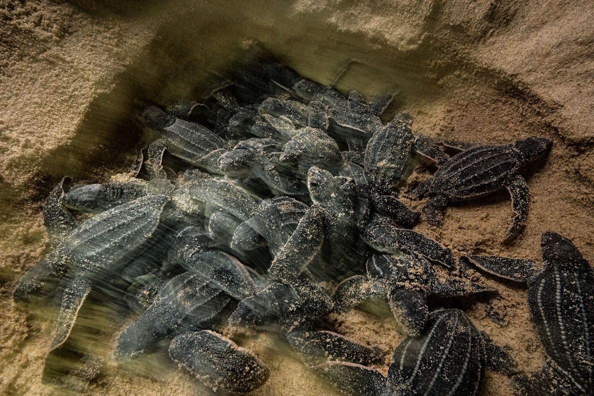 Dans leurs nids, les jeunes tortues luth travaillent en équipe pour frayer un chemin, semblable à ...